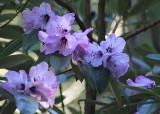 02 purple rhodies