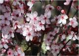 03 plum blossom