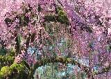 05 cherry blossom heaven
