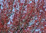 06 maple blossom