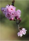 11 cherry blossom