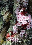13 plum blossom and lichen