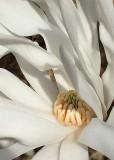16 star magnolia