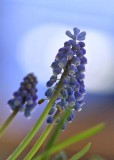 25 grape hyacinth