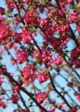 26 flowering currant