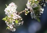 32 white blossom