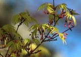 35 maple blossom