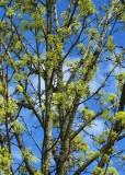 40 spring tree.jpg