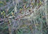 67 usnea and spring buds