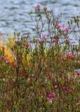 29 western bog laurel