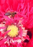 73 bee in red poppy