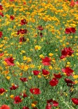 76 red yellow poppy field 2