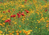 77 red yellow poppy field