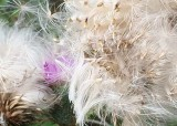 07 fall  thistle fluff