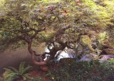 22 japanese maple by pond
