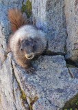 marmot on a ledge