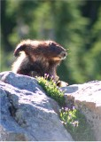 marmot morning scratch