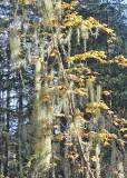 09 usnea and maple