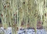 16 lichen veils