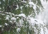 snow falling on cedar