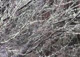 11 lichen branches