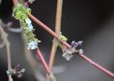 26 winter twigs buds