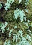 79 licorice fern