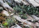 14 pixie cup lichens