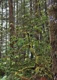 19 mossy wild rhody