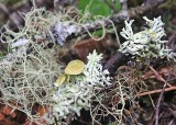 25 usnea and beaded bone lichen