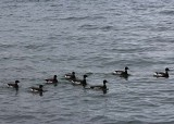 38 Brant Geese