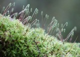 42 fruiting stalks of moss