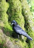 58 crow