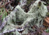 64 a skein of usnea
