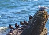 01 harlequin ducks and a gull