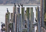 11 cormorants awaiting sunset