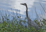 blue heron at wapato lake