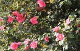 2 camellia