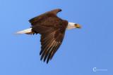 Bald Eagle-4932.jpg