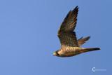 Peregrine Falcon-6042.jpg