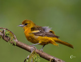 Female Oriole.jpg