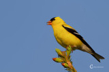 Goldfinch-1168.jpg