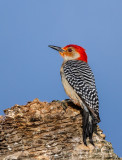 Red-bellied Woodpecker-0090.jpg