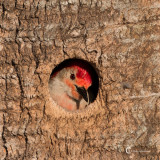 Red-bellied Woodpecker-9614.jpg