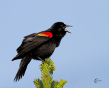Red-winged Blackbird-0682.jpg