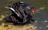 Black Swan-3300.jpg