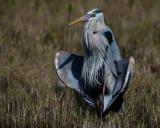 Blue Heron Resting-6167.jpg