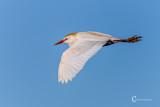 Cattle Egret-3709.jpg
