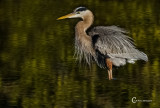 Great Blue Heron-0030.jpg