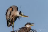Great Blue Heron-9655.jpg